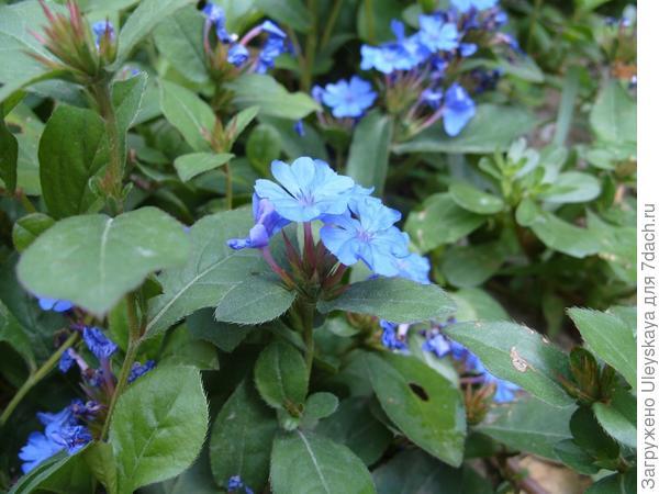 Голубые цветки свинчаток создают романтическое настроение