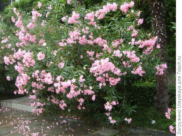 После дождя часть цветков олеандра осыпается