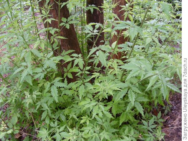 Растения похожие на листья конопли сколько хранятся семена марихуаны