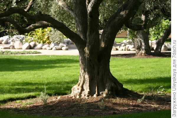 Старинная маслина.