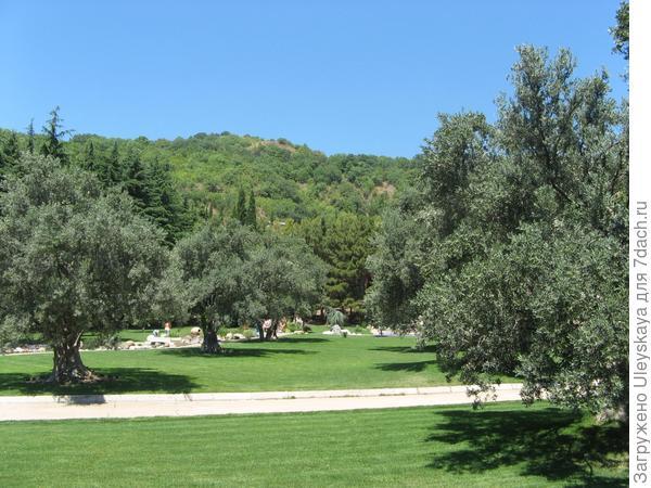200-летняя роща маслины европейской.