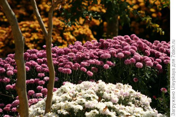 """""""Расцвели уж давно хризантемы в саду..."""", но еще не в этом году."""