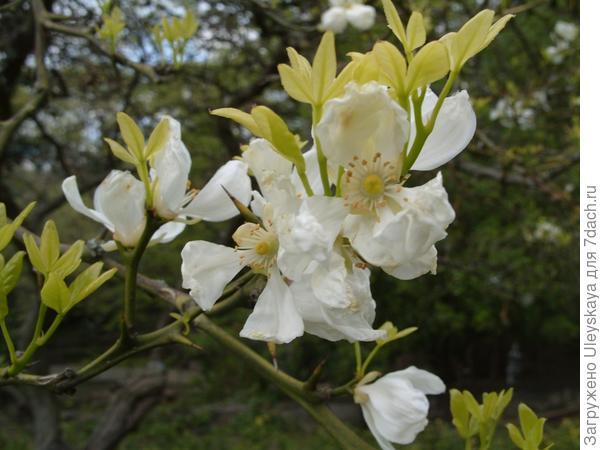 Цветёт понцирус трехлистный.