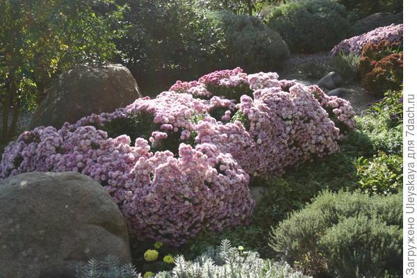 Хризантемы в душистом саду.