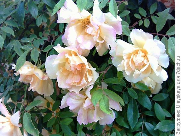Плетистая роза 'Fortune's Double Yellow'