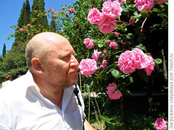 Роза 'Весенняя Заря'.