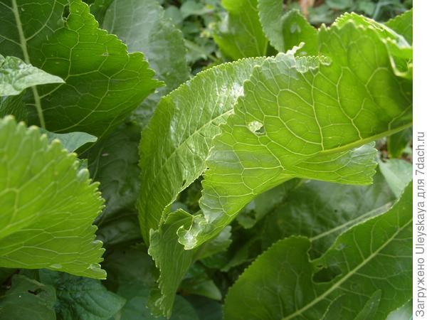 Исконно русское овощное растение - хрен