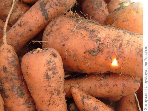 Морковь столовая.