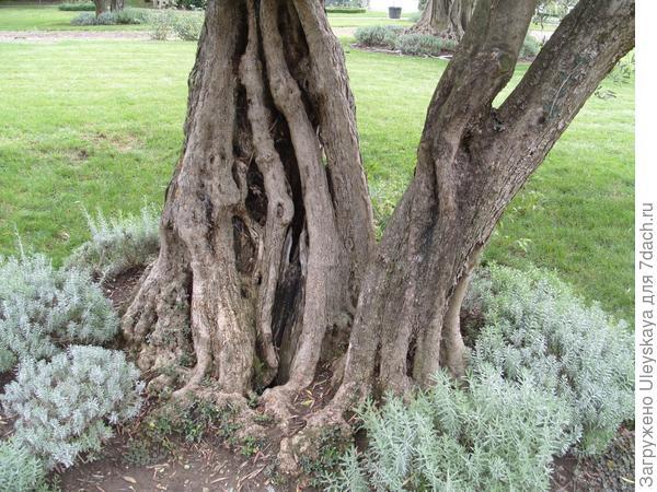 200-летняя маслина европейская.