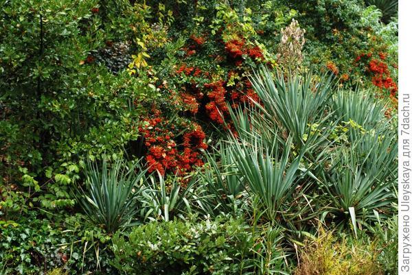 В осеннем саду горит куст красавицы пираканты