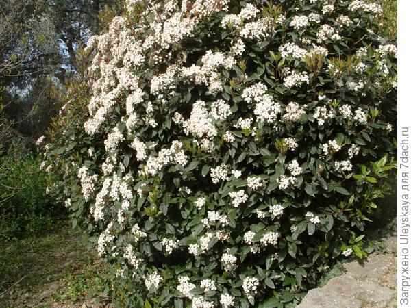 Куст цветущей калины вечнозеленой.