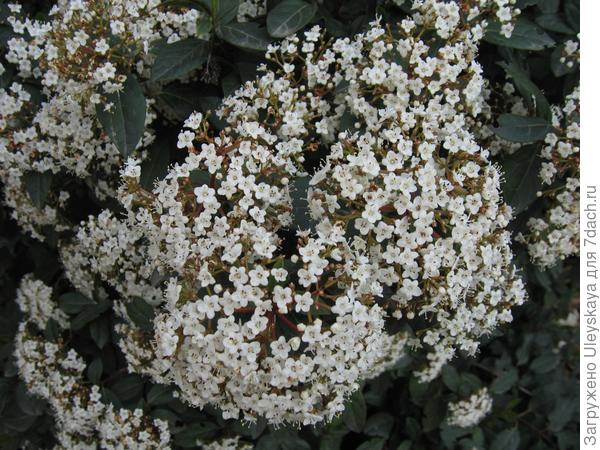 Калина вечнозеленая в цветении.