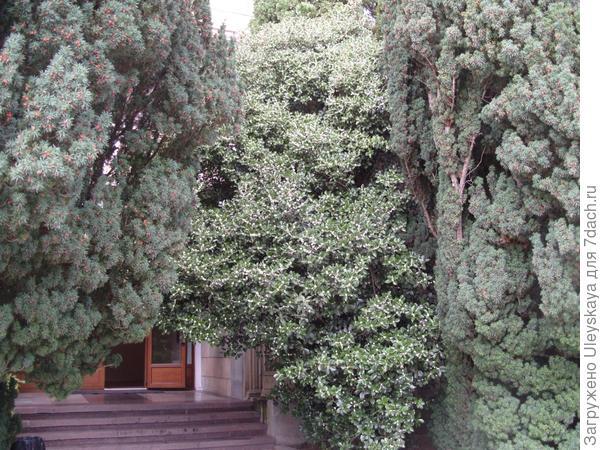 Османтус Форчуна у административного здания.