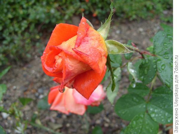 Роза сорт 'Nina Weibull', 2 октября.