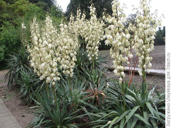 Весеннее цветение юкки алоэлистной.