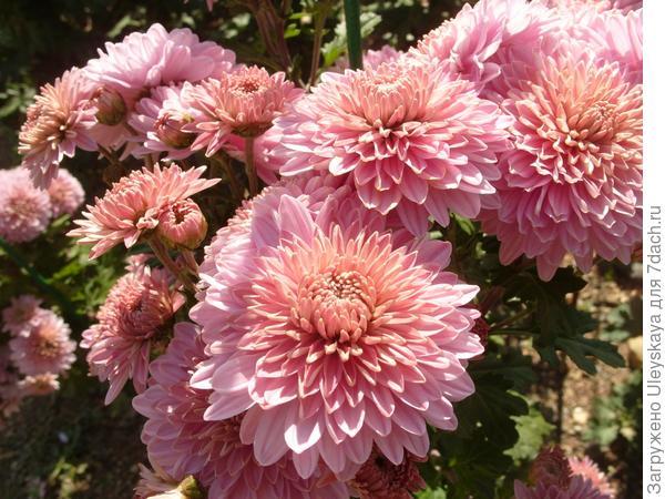 Букетный Розовый