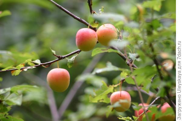 """Снимаем """"райские яблочки""""."""