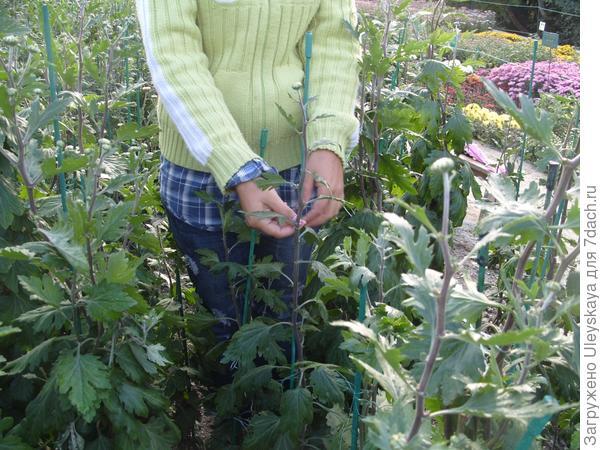 Подвязываем хризантемы