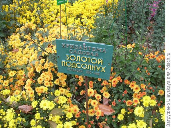 Хризантемы в очередной раз выдержали испытание погоды!