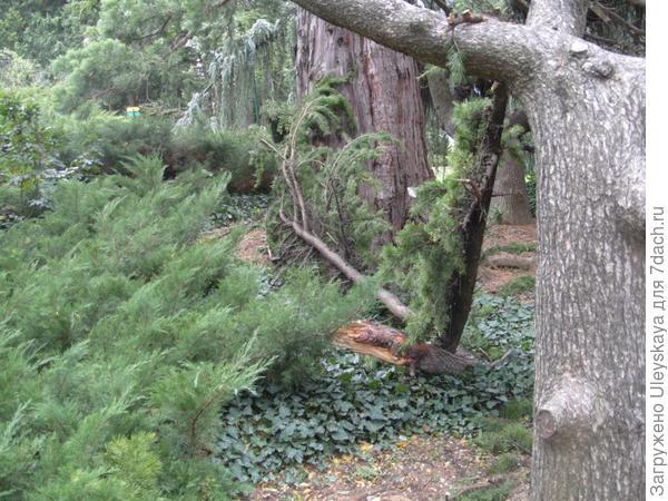 Сломленная большая ветка кедра гималайского