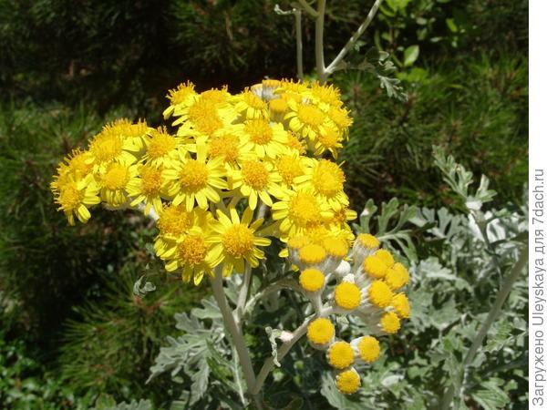 Цветки цинерарии приморской