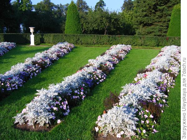 Цинерария в цветочных композициях на газоне