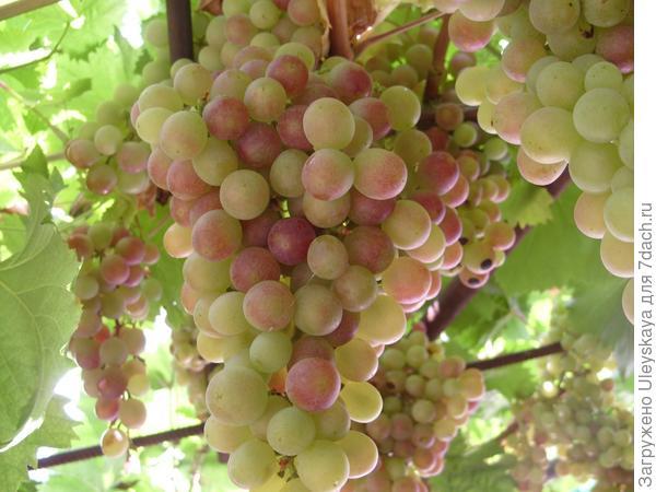 Завершаем обрезку винограда