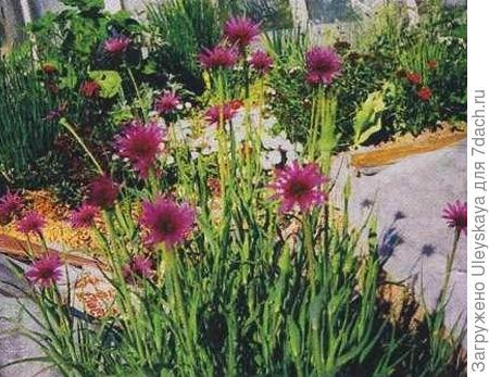 Козлобородник пореелистный в цветнике