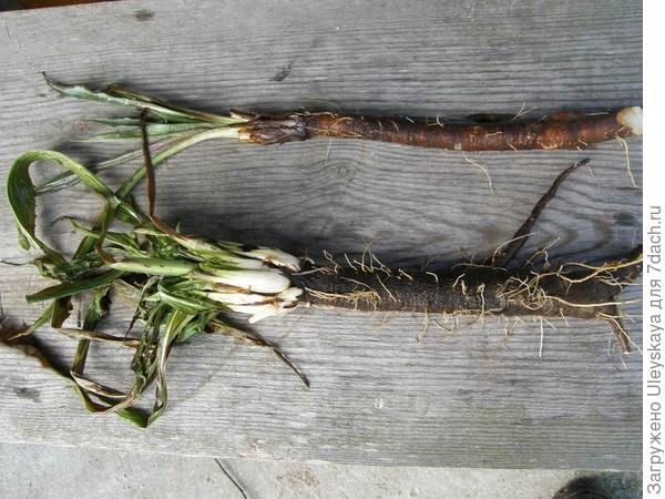 Козелец испанский или черный корень