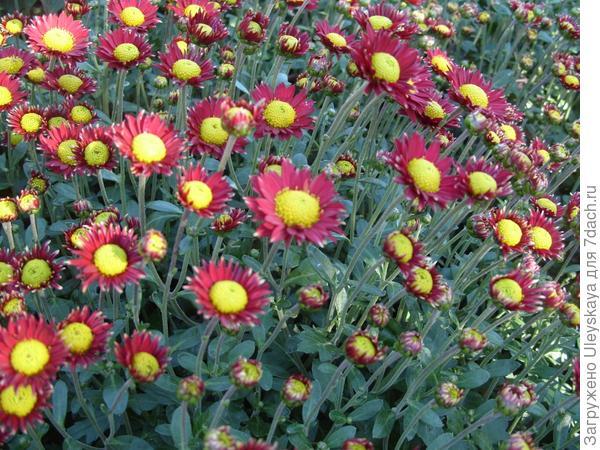 Сухоцветик