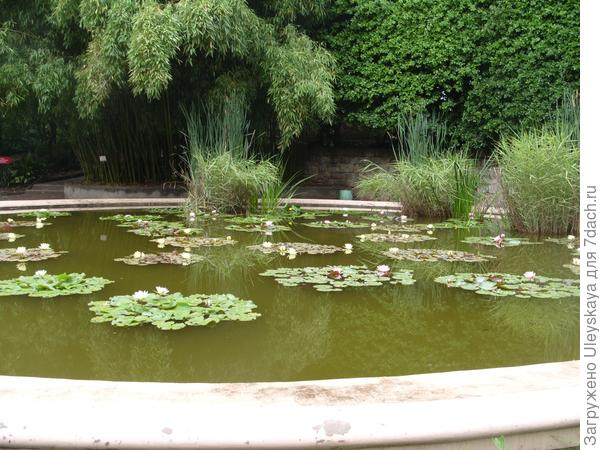 Тростник обыкновенный в водоёме с другими растениями