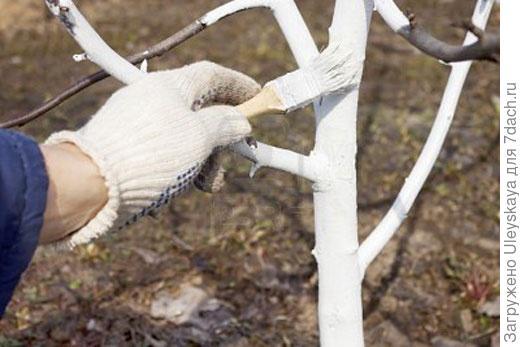 Осеняя побелка деревьев фото с сайта: votevk.ru