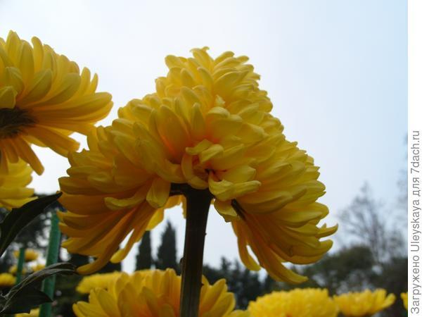 Двойное соцветие хризантемы Апельсиновый Шар