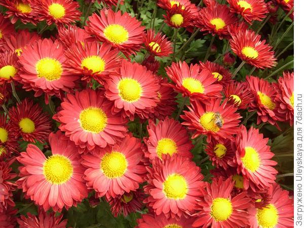 Хризантема мелкоцветковая сорт Юрий Богатиков