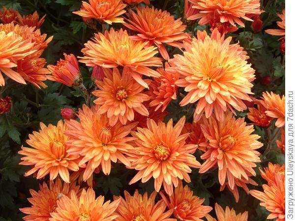 Сорт мелкоцветковой хризантемы Никитская Осень