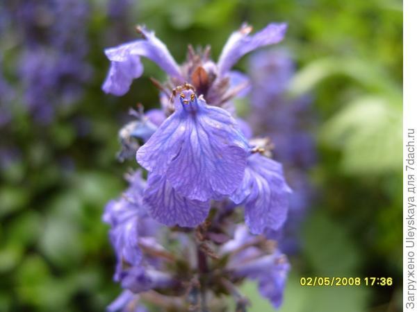 Цветение живучки ползучей весной