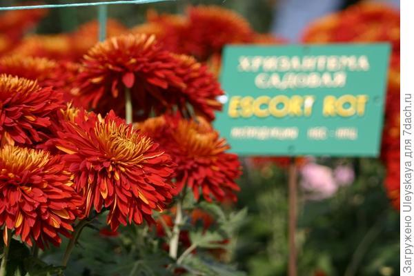 Совершенная красота Escort Rot