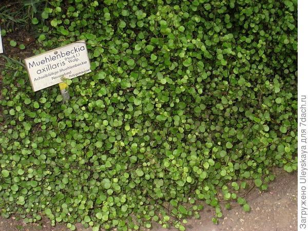 Мюленбекия пазушная