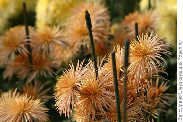 Светло-бронзовые хризантемы на переднем плане