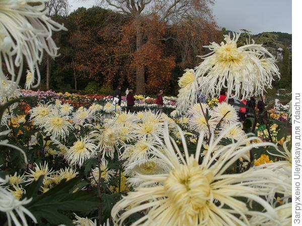 Еще не отцвели хризантемы в Никитском ботаническом саду