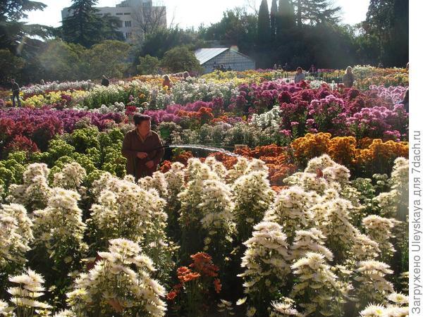 Поливаем хризантемы