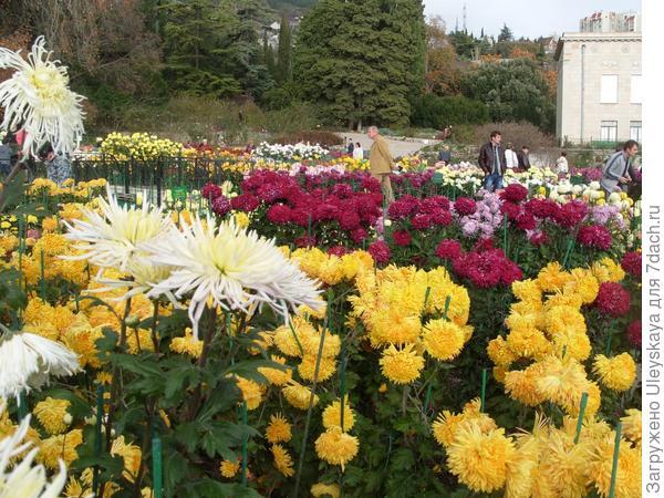 Цветут хризантемы особой южной субтропической закваски