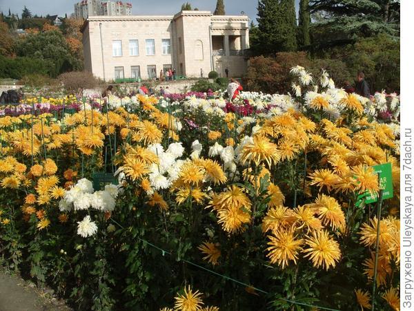 Цветут хризантемы самых разных окрасок и форм