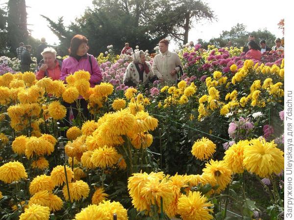 Хризантемы повсюду