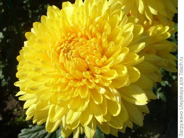 Lorna Doone Yellow
