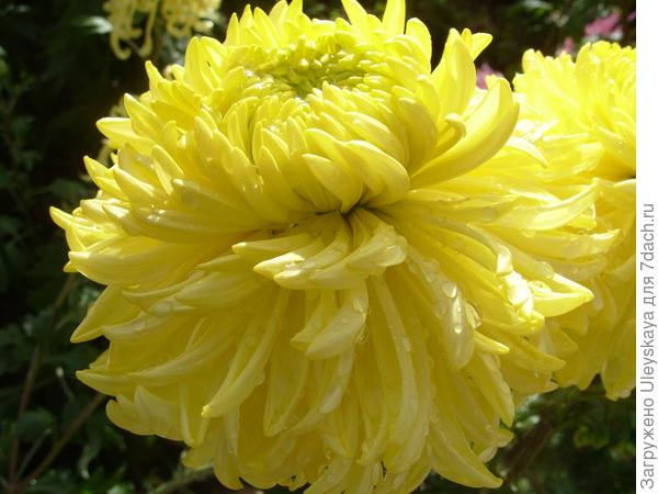 Polisadena Yellow
