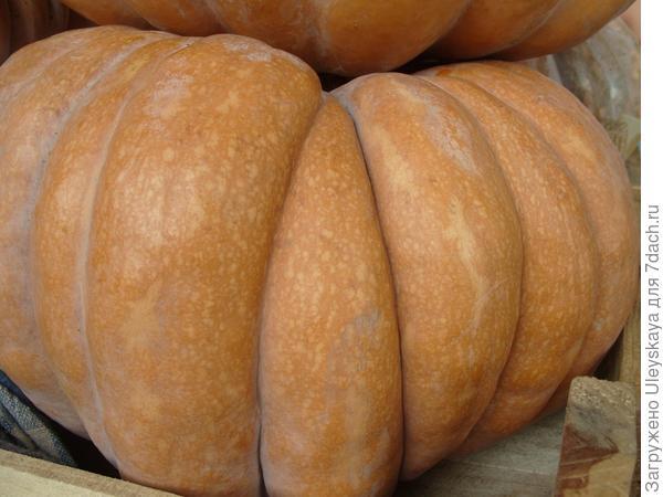 Плод тыквы - тыквина