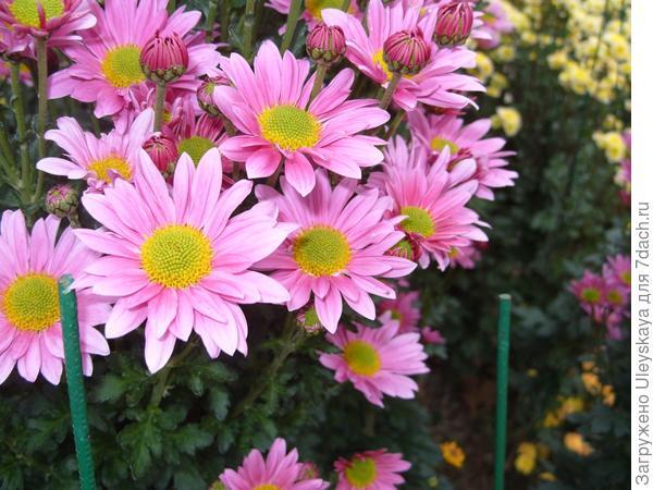Baulon Pink