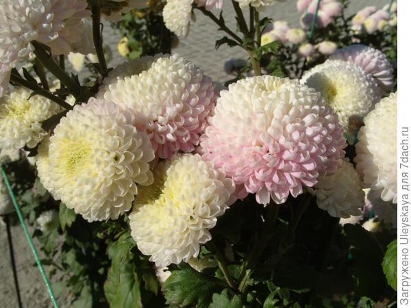 Продолжение цветения