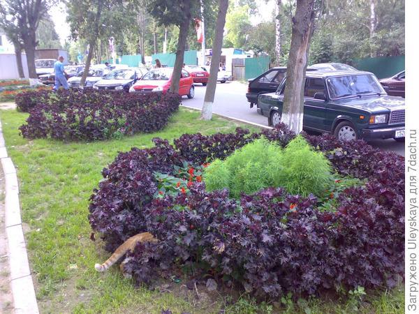Перилла кустарниковая разновидность нанкинская